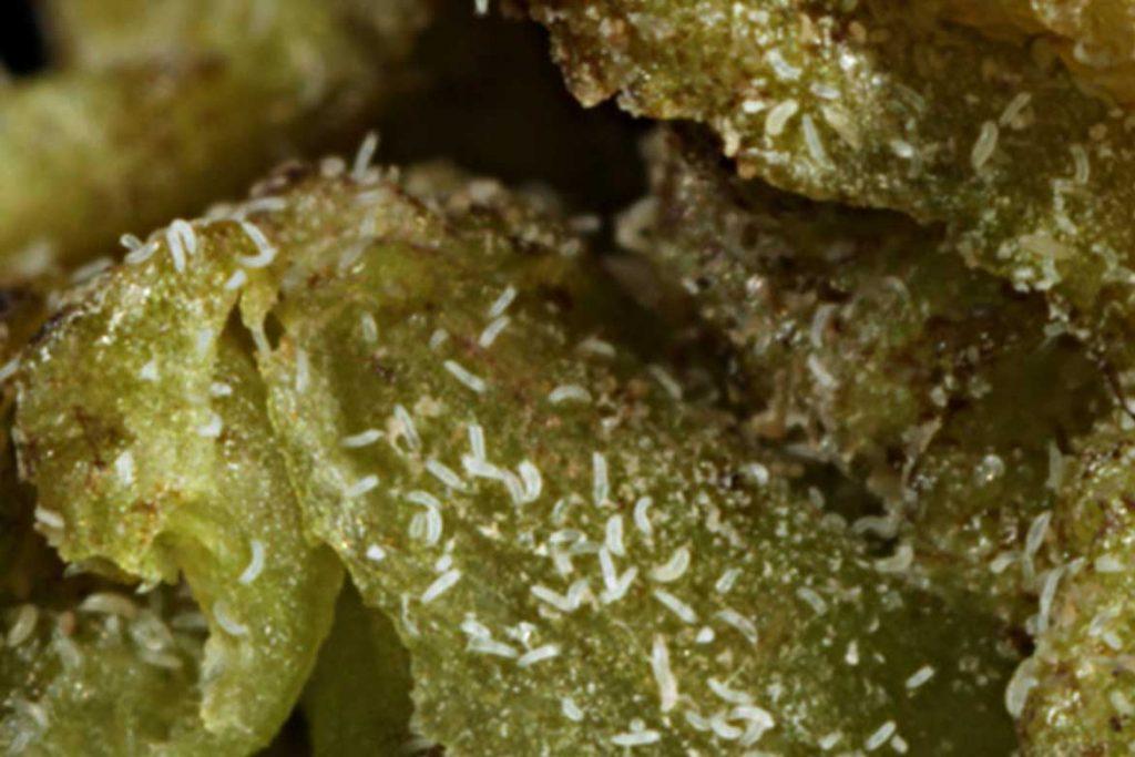 Меры борьбы с почковым клещом на смородине червь