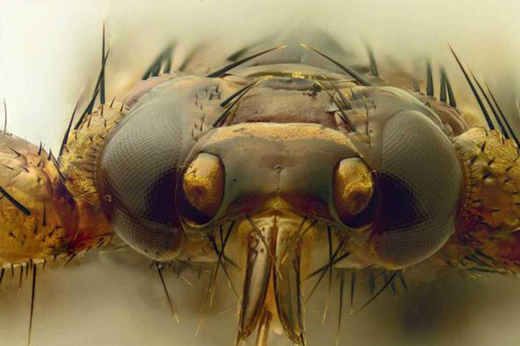 Оленья кровососка – она же лосиный клещ с крыльями крупный план