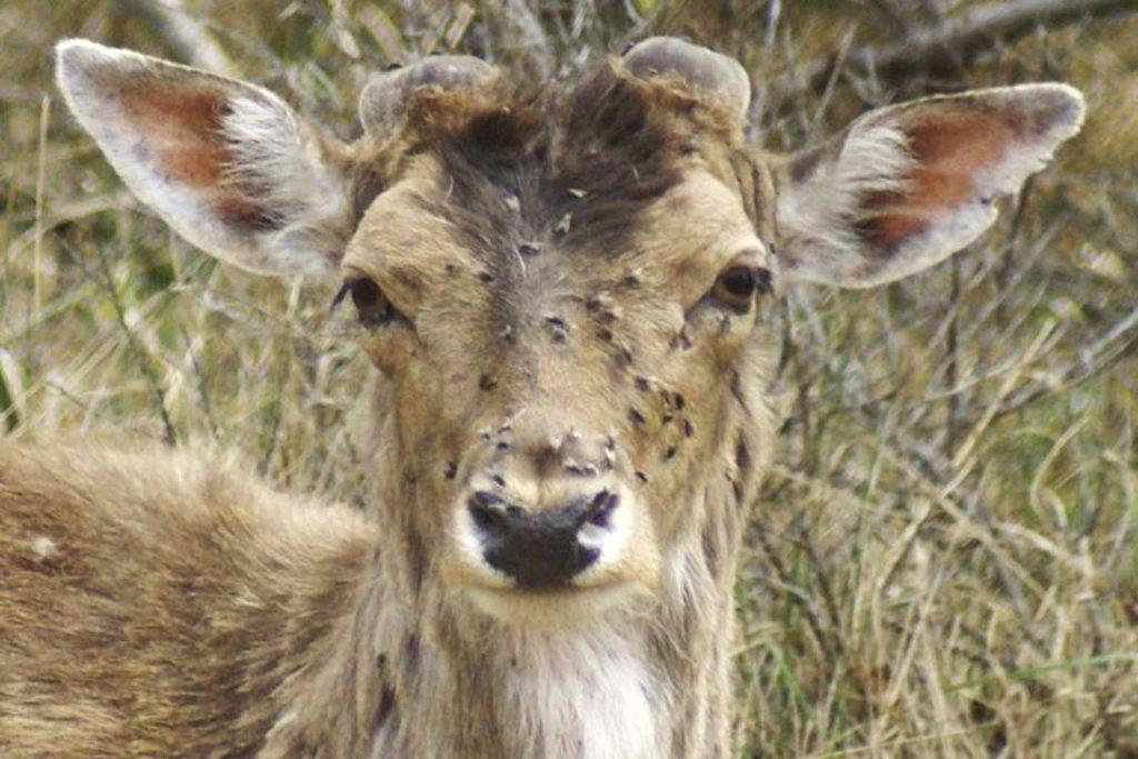 Оленья кровососка – она же лосиный клещ с крыльями зараженный олень