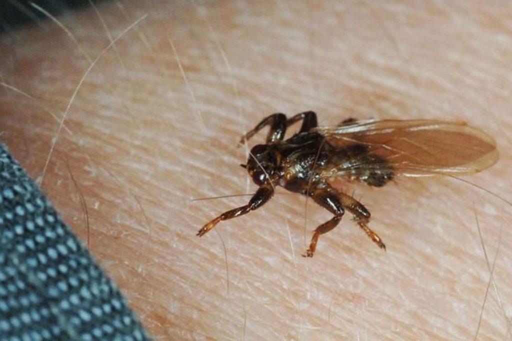 Оленья кровососка – она же лосиный клещ с крыльями - укус