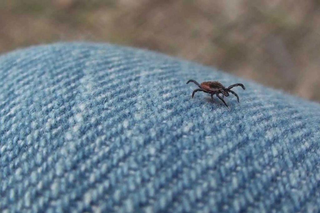 Осторожно чёрный (коричневый) клещ. Как распознать паразита - место обитания