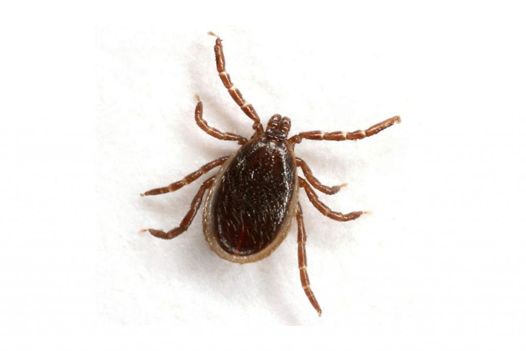 Осторожно чёрный (коричневый) клещ. Как распознать паразита - нападение