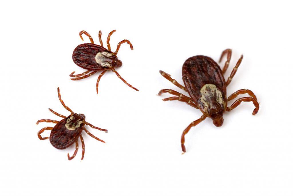 Осторожно чёрный (коричневый) клещ. Как распознать паразита - Dermacentor marginatus