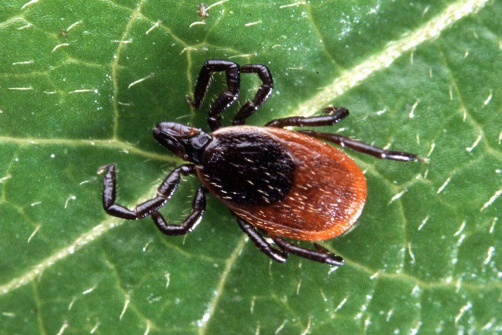 Осторожно чёрный (коричневый) клещ. Как распознать паразита - вид