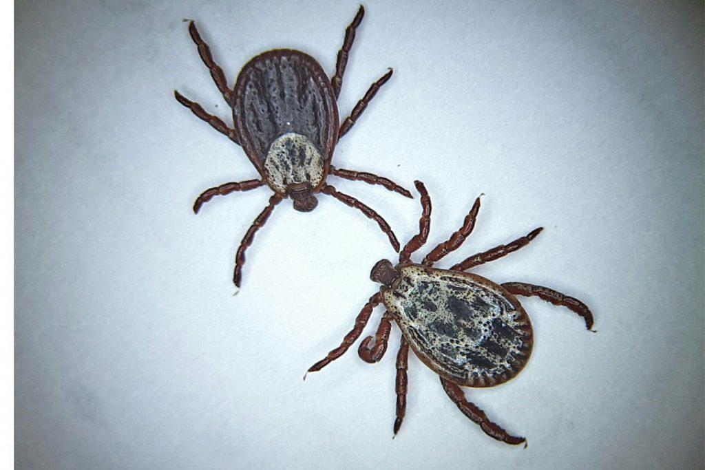 Осторожно чёрный (коричневый) клещ. Как распознать паразита - Dermacentor reticulatus