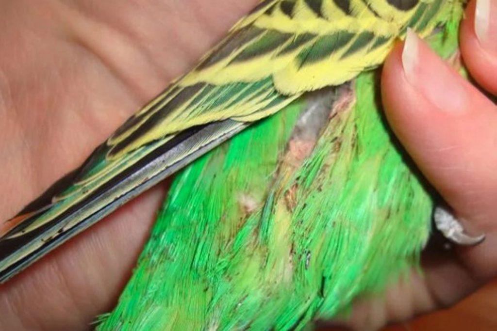 Поражение клещом волнистого попугая – выпадение перьев