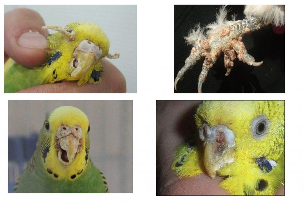 Поражение клещом волнистого попугая – трахейные клещи