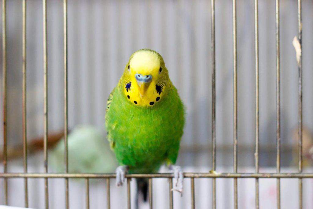 Поражение клещом волнистого попугая – лечение