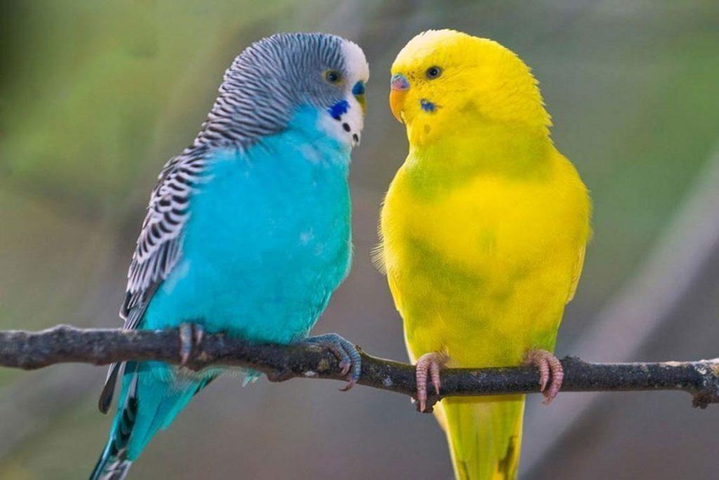 Поражение клещом волнистого попугая – виды попугаев
