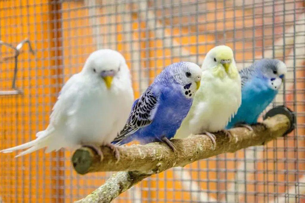 Поражение клещом волнистого попугая –  фото