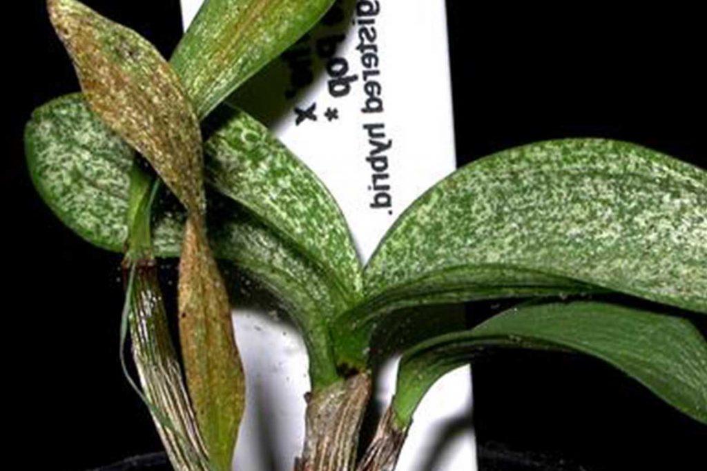 Виды клещей паразитирующих на орхидеях панцирный паутинный Орибатида листья заражены
