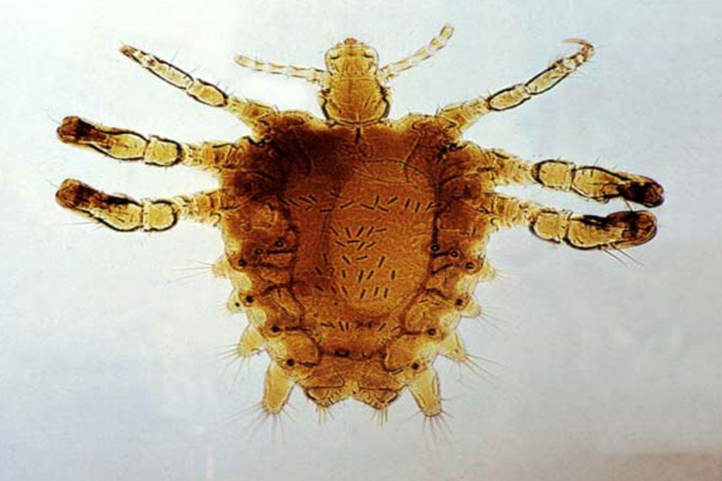 Виды вшей, как опознать паразита - Phthirus pubis