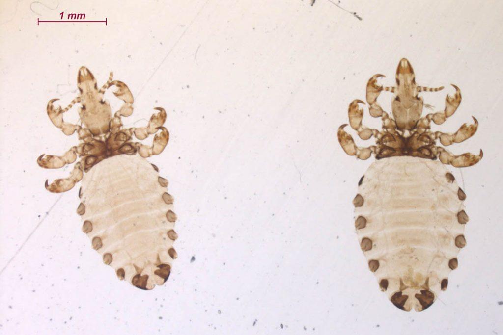 Виды вшей, как опознать паразита - heamatopinus asini