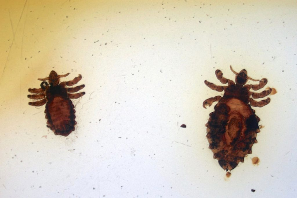 Виды вшей, как опознать паразита - Heamatopinus eurysternus