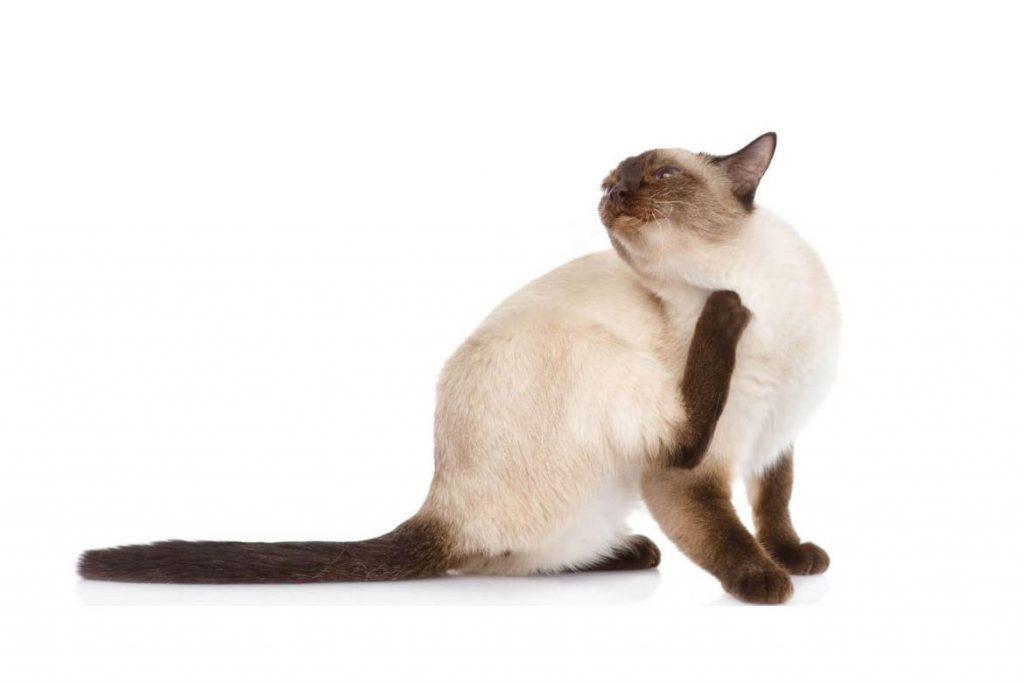 Вши у кошек – описание, фото, как выглядят - зуд