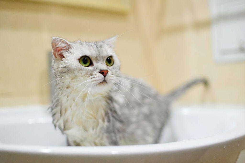 Вши у кошек – описание, фото, как выглядят - шампуни