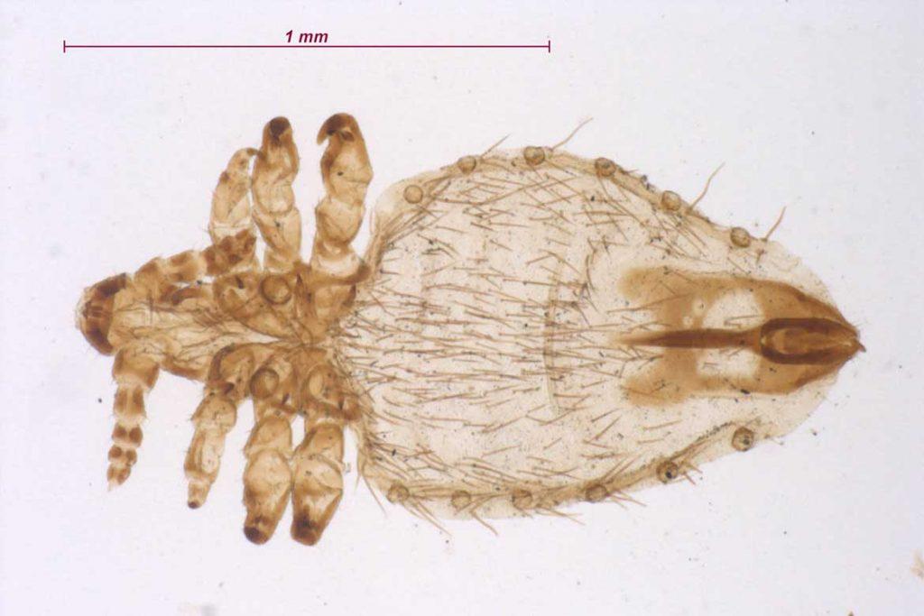 Вши у коз описание Linognathidae Pedalis