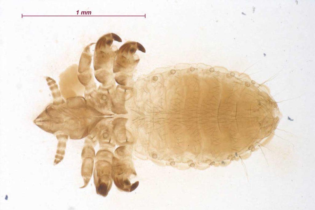 Вши у коз описание Linognathidae Vituli