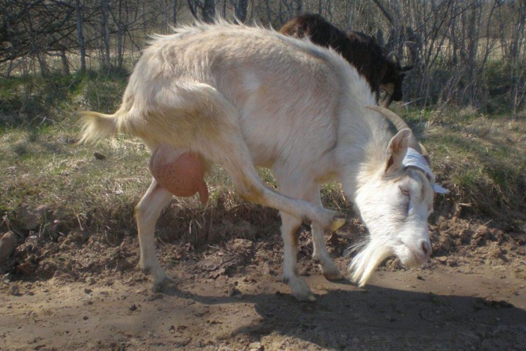 Вши у коз – описание, фото, какой паразит атакует - зуд