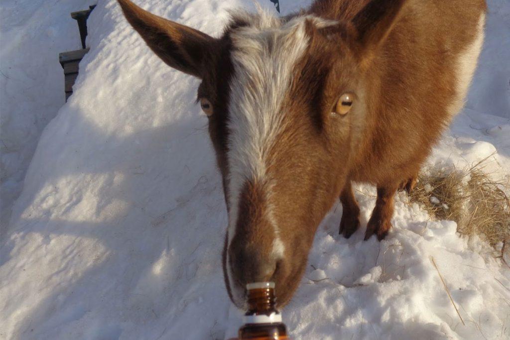 Вши у коз – описание, фото, какой паразит атакует - лечение кози