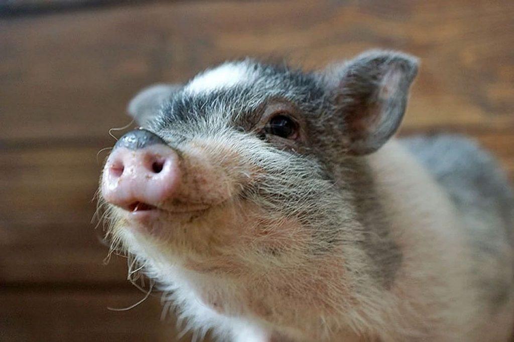 Вши у свиней – описание, фото, как заражается животное - лечение поросят
