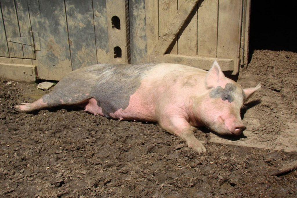 Вши у свиней – описание, фото, как заражается животное - патогеноз