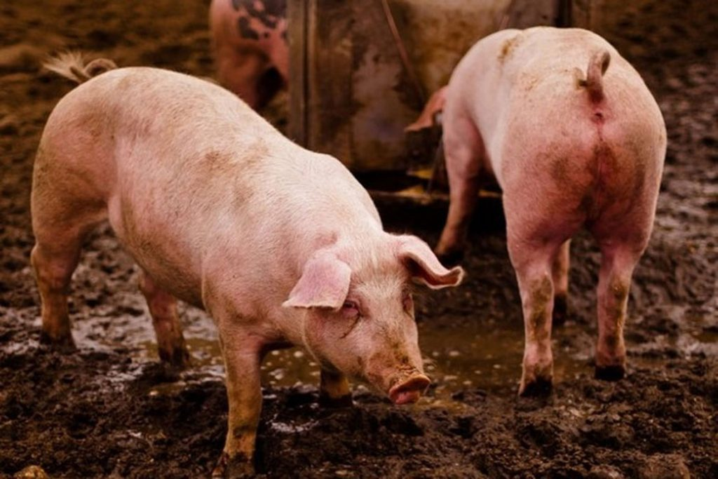 Вши у свиней – описание, фото, как заражается животное - сарай