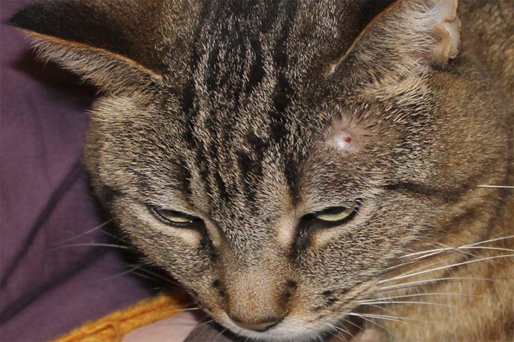 Что делать, если кота укусил Иксодовый клещ – как выглядит укус, первые симптомы, чем опасен и как помочь любимцу симптомы укуса