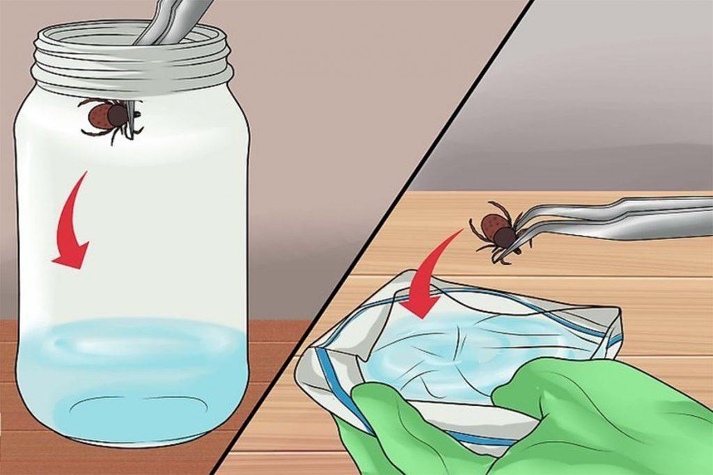 Что делать, если кота укусил Иксодовый клещ – как выглядит укус, первые симптомы, чем опасен и как помочь любимцу удаление клеща