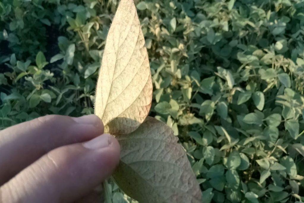 Как бороться с паутинным клещом на сое – удаление листьев