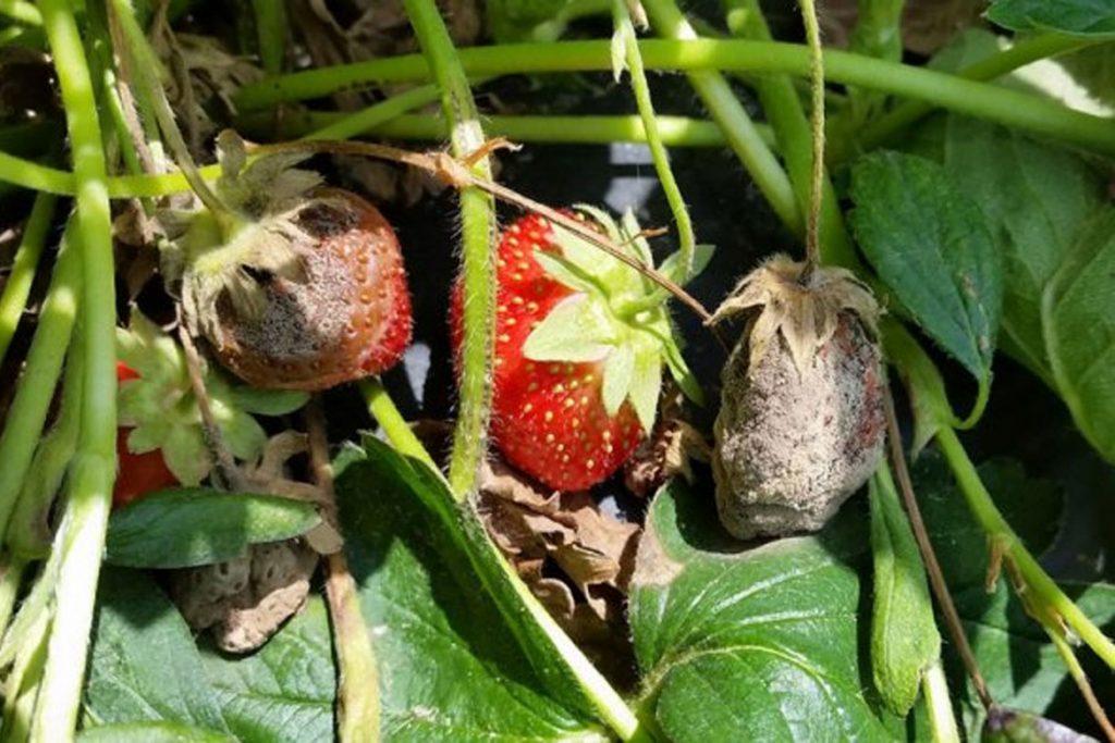 10 способов борьбы с земляничным клещом на клубнике - фото растений