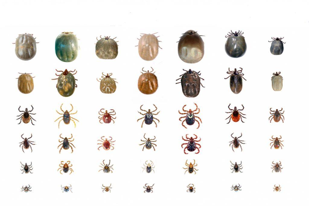 Клещи – фото, описание, разновидности, научная классификация вида