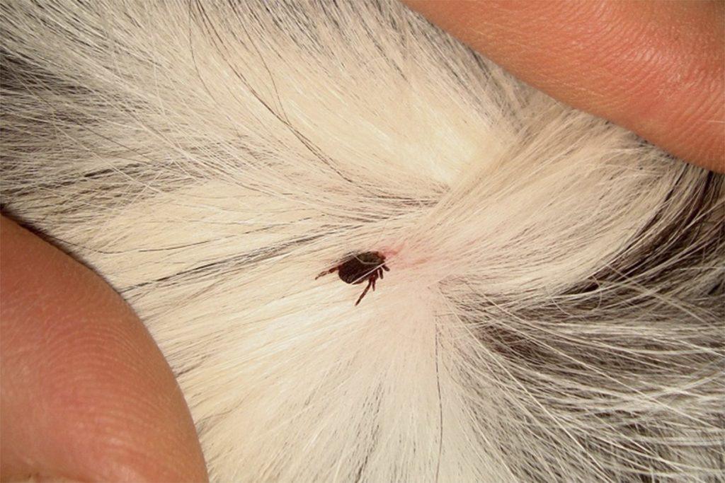 Клещи – фото, описание, разновидности, как выглядят бурый клещ кусает собаку