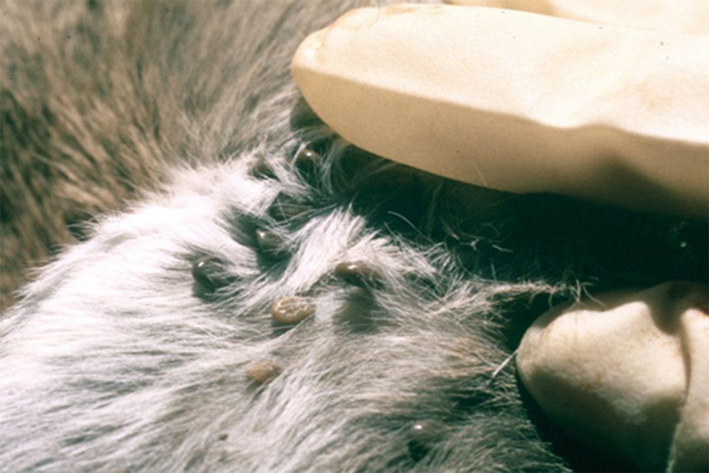 Клещи – фото, описание, разновидности, как выглядят клещи на собаке