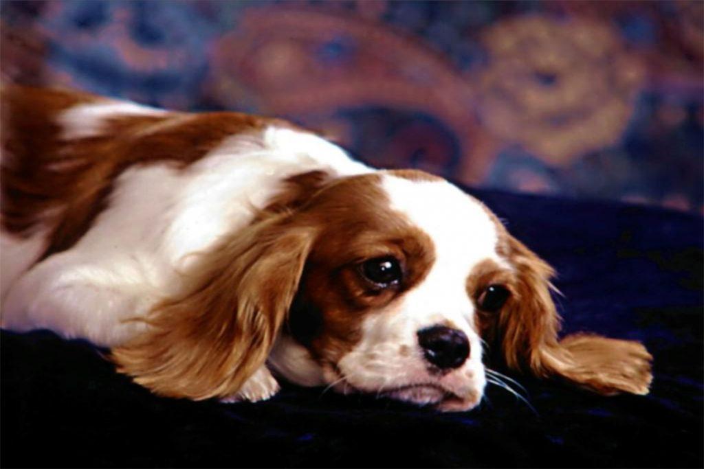 Клещи у собаки: виды, симптомы, как выглядят пироплазмоз