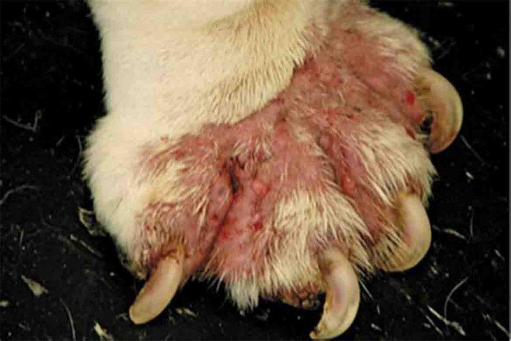 Подкожный клещ у собаки симптомы локализованного демодекса