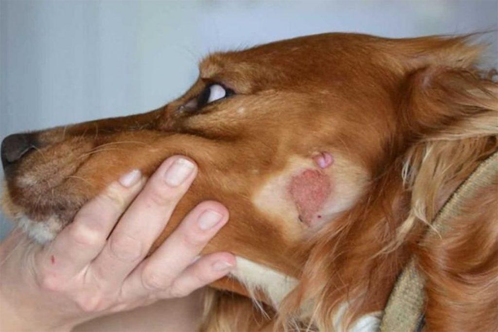 Подкожный клещ у собаки как не перепутать с лишаём