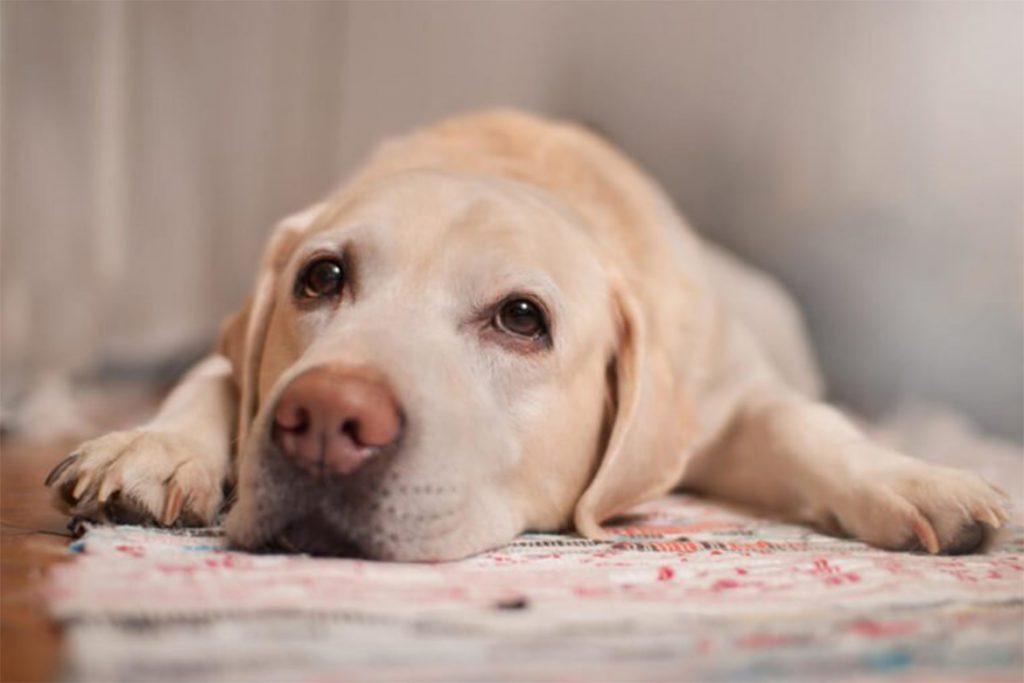Практик капли для собак от клещей и блох – инструкция по применению, отзывы заводчиков и ветеринаров, меры предосторожности