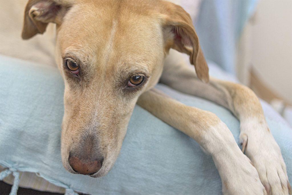 Симпарика (Simparica) для собак и щенков – инструкция по применению жевательных таблеток от блох и клещей, противопоказания