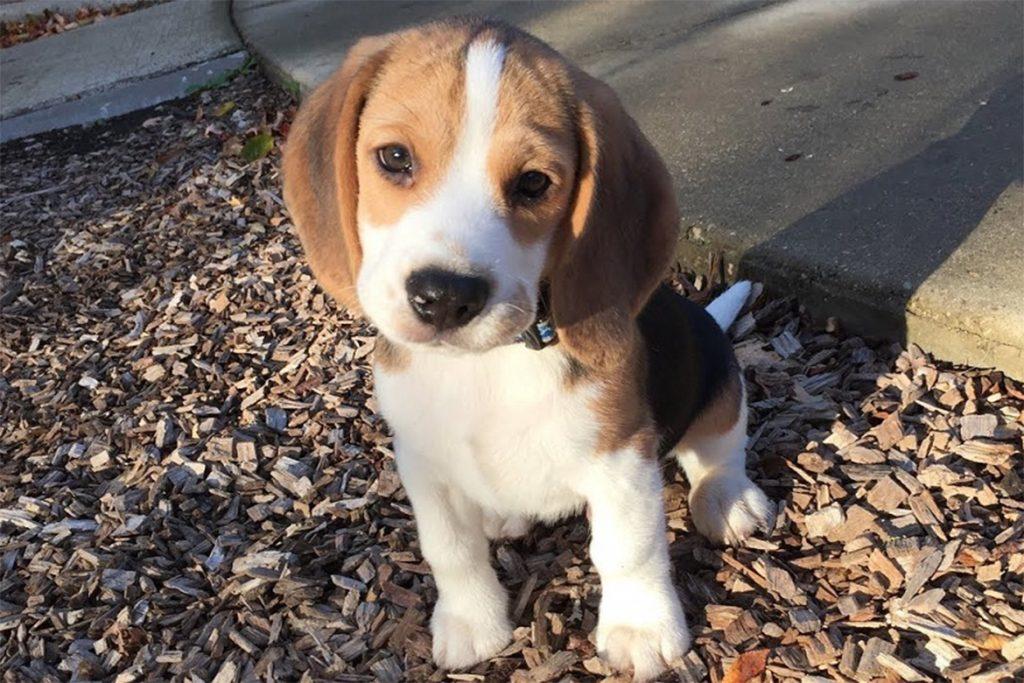 Симпарика (Simparica) для собак и щенков – инструкция по применению жевательных таблеток от блох и клещей, можно ли давать щенку в 1,5 месяца