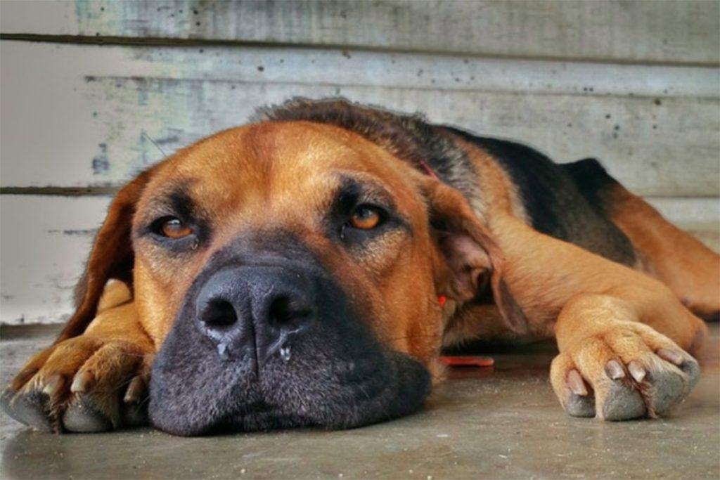 Собаку укусил клещ, признаки бартонеллеза