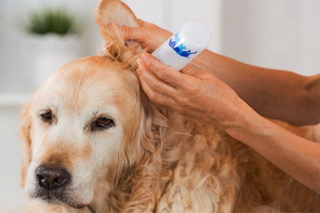 Ушной клещ (Отодектоз) у собак – как выглядит, симптомы, чем опасен и как от него избавиться раз и навсегда, подготовка уха к обработке