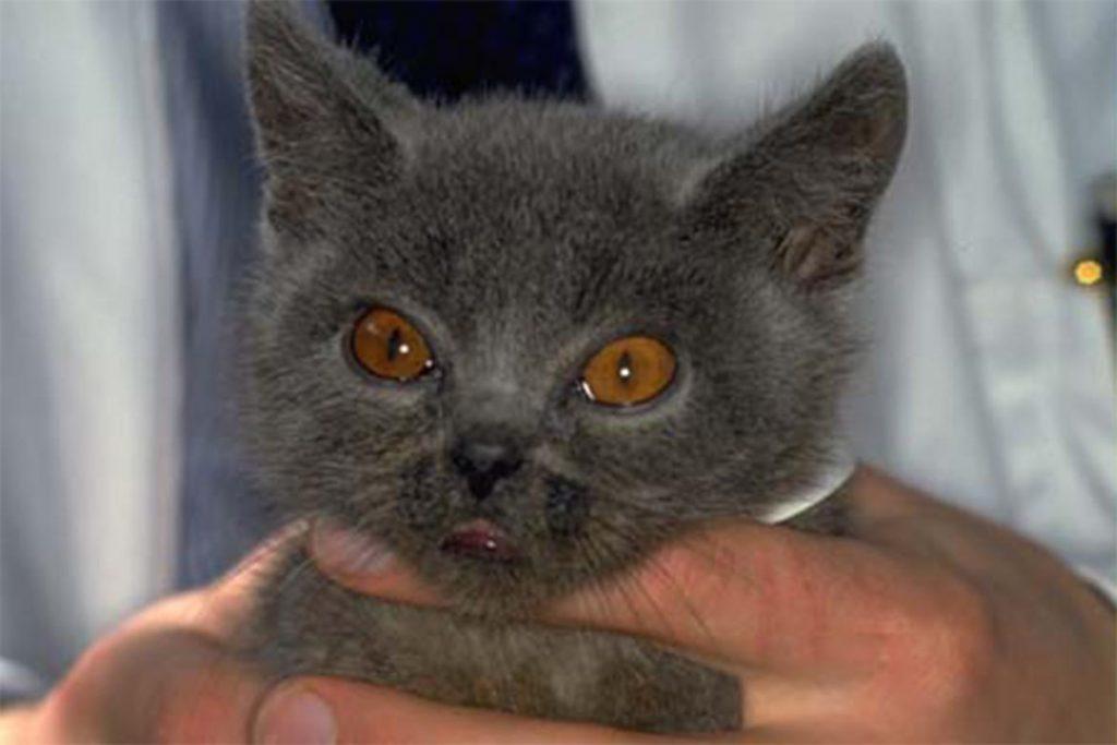 Виды клещей у кошки – как выглядят, откуда берутся, чем опасны энцефалит