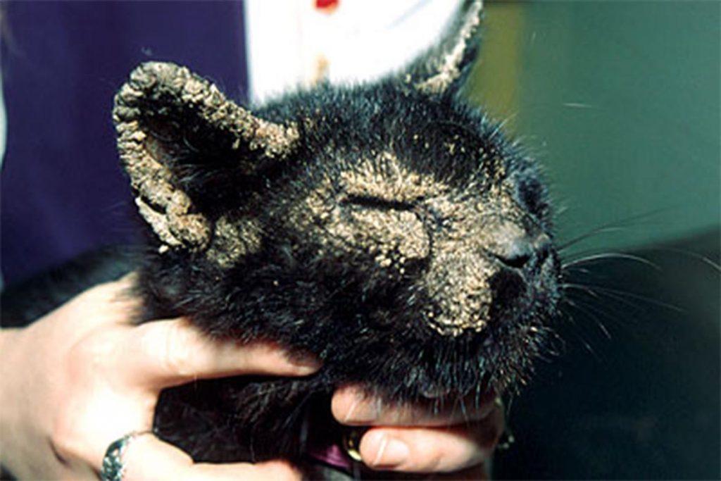 Виды клещей у кошки – как выглядят, откуда берутся, чем опасны нотоэдроз