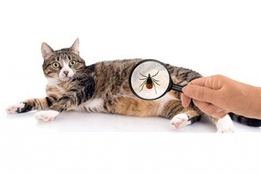 Виды клещей у кошки – как выглядят, откуда берутся, чем опасны обзор