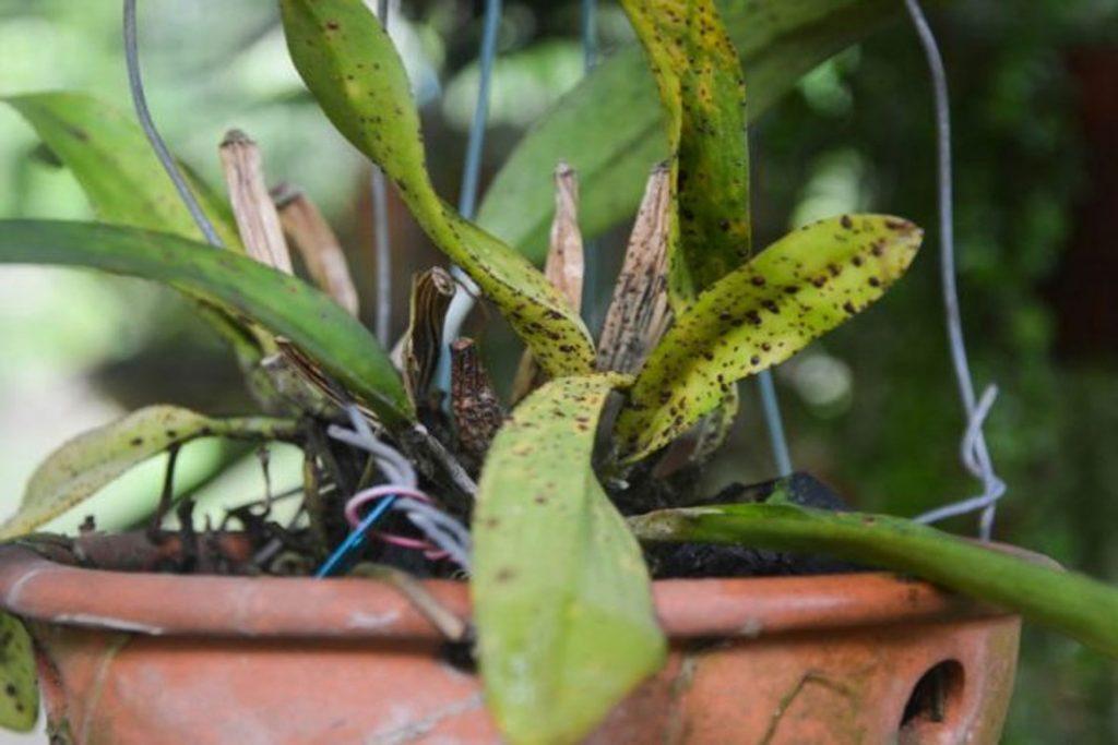 Виды клещей, паразитирующих на орхидеях - панцирный клещ