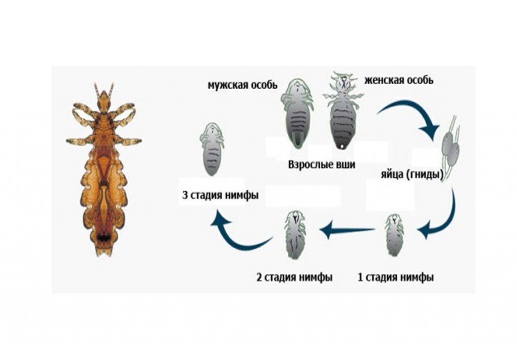 Как размножаются вши на голове у человека - яичный этап