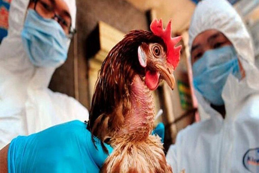Куриные вши – описание, фото, как выглядят, почему заводятся - болезни
