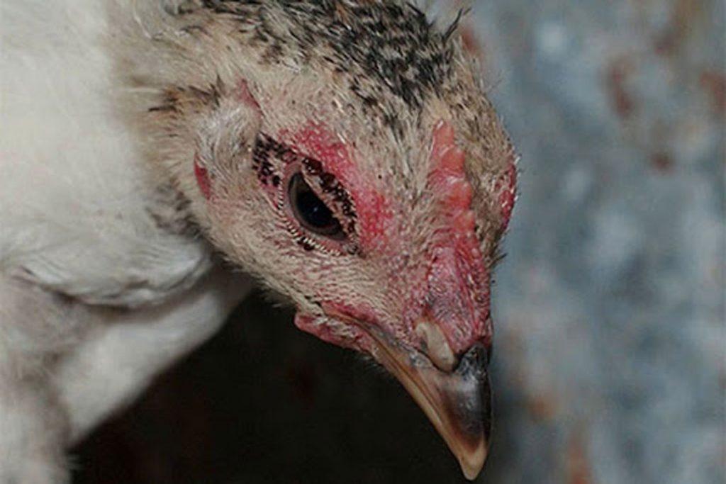 Куриные вши – описание, фото, как выглядят, почему заводятся - заражение цыплят