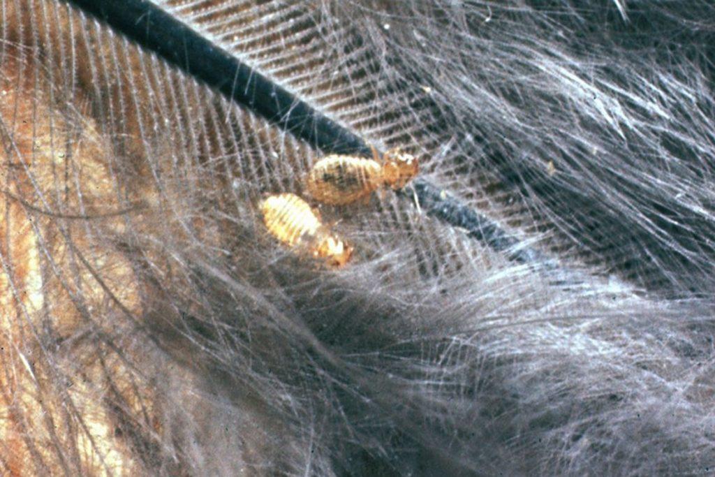 Куриные вши – описание, фото, как выглядят, почему заводятся - вши на перьях